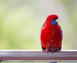 A Crimson Rosella with wonderful, red chest feathers, perched on a window frame