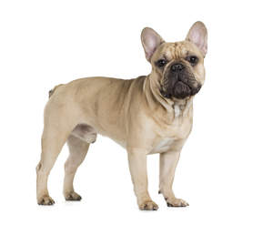 A young French Bulldog standing tall, showing off it's pointed ears