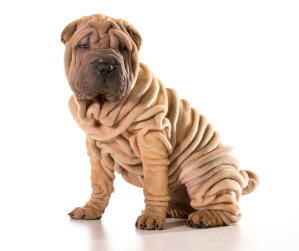 A young Chinese Shar Pei puppy with lots of deep wrinkles