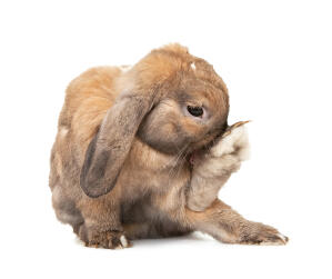 A Dwarf Lop rabbit's incredibly large back feet