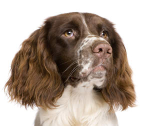 The characteristic floppy ears of a young English Springer Spaniel