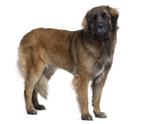 An adult Leonberger, showing off it's big, strong body