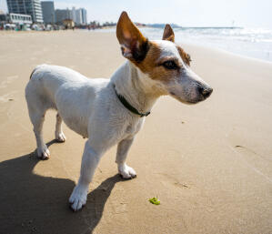 A Jack Russell Terrier relaxing on the beach, showing off it's beautiful big ears