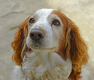 An attentive Welsh Springer Spaniel, waiting for some attention