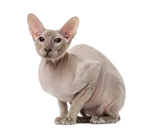 A pretty Peterbald crouching ready to jump