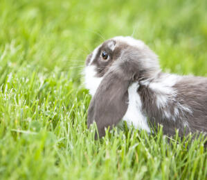 The incredible big ears of a Mini Lop rabbut