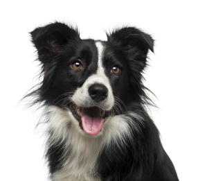 A close up of a Border Collie's characteristic sharp ears