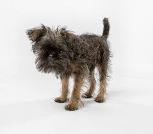 A scruffy little affenpinscher with a lovely wirey coat