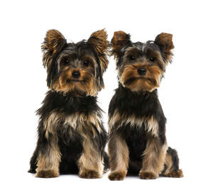 Two adult Yorkshire Terriers with healthy, dark coats