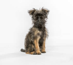 A cute little affenpinscher sitting to attention