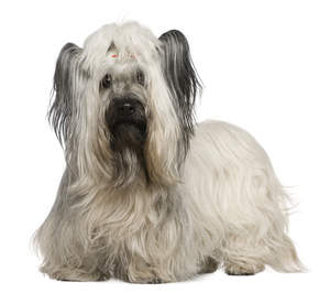 A Skye Terrier with a beautiful soft, white coat