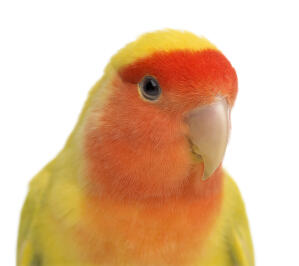A close up of a Rosy Faced Lovebird's beautiful eyes and peach coloured face feathers