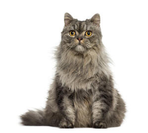 A pretty tabby Persian