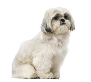 A mature and well mannered little Shih Tzu sitting neatly