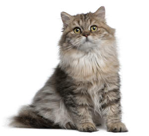 a fluffy british longhair with tabby markings