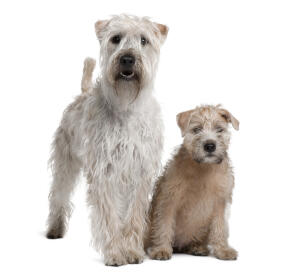 An incredible adult Soft Coated Wheaten Terrier standing over it's puppy