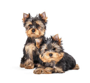 Two young black and brown coated Yorkshire Terriers enjoying each others company