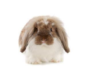 A lovely little brown and white Angora rabbit