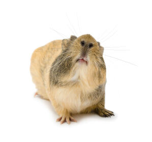 An Agouti Guinea Pig showing off it's beautiful little nose and mouth