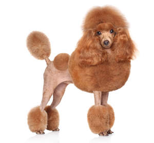 A Toy Poodle with a very extravagant poople cut coat