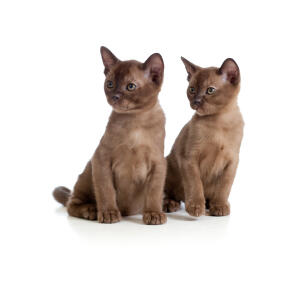 two gorgeous chocolate burmese kittens sitting together