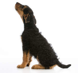 An Airedale Terrier puppy with a wiry dark coat