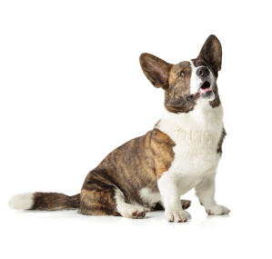An adult Cardigan Welsh Corgi with a lovely, brown and white coat
