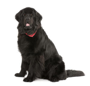 A big, strong adult Newfoundland with a lovely thick, black coat