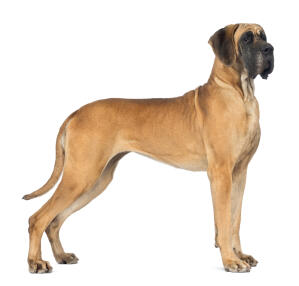 A beautiful Great Dane standing tall, showing off it's incredible, tall, muscular body