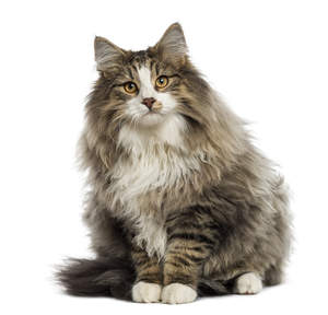 A pretty bicolour Norwegian Forest cat with tabby markings