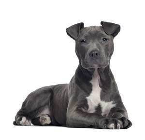 A beautiful, young American Staffordshire Terrier lying neatly