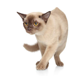 A beautiful champagne burmese cat with amber eyes