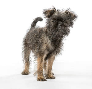 A cute little affenpinscher with a lovely scruffy coat