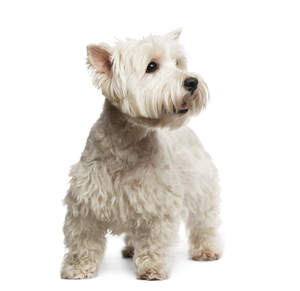 A healthy, young adult West Highland Terrier standing tall, showing off its lovely groomed coat