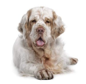 An adult Clumber Spaniel with a beautifully soft, white and brown coat