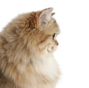 A profile view of a british longhair with a mane of hair