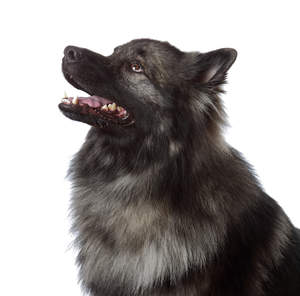 A striking young male Keeshond awaiting a command from it's owner