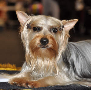 A beautifully groomed Silky Terrier showing off it's pointed ears