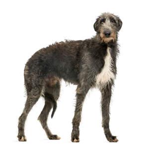 A gorgeous, young Scottish Deerhound with a thick, healthy coat
