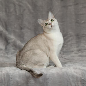 A beautiful asian burmilla cat with a silvery coat