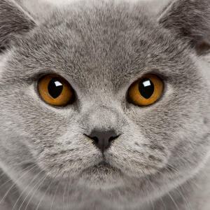 A beautiful british shorthair with dark orange eyes