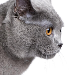 the profile of a chartreux cat with amber eyes