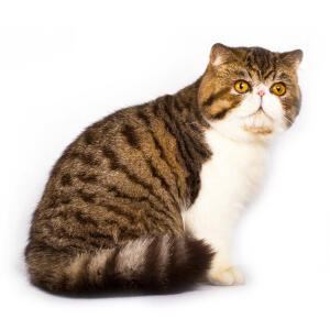 A pretty tabby bicolour exotic shorthair with a pink button nose