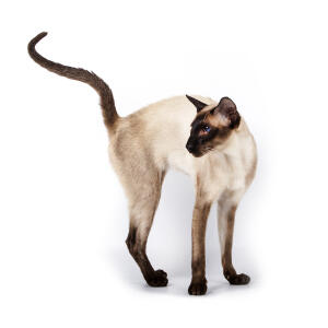 A svelte Siamese cat with light tortie points