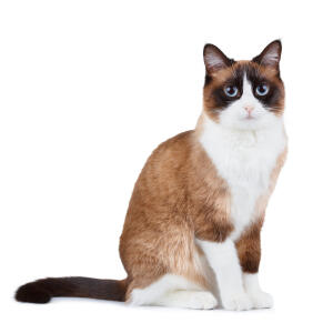 Ayoung snowshoe cat sitting
