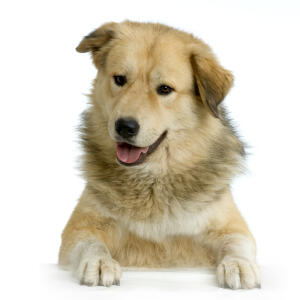 A beautiful Anatolian Shepherd Dog with a thick, healthy coat
