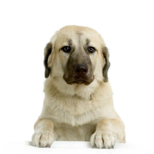 A lovely adult Anatolian Shepherd Dog showing off its beautiful, soft coat