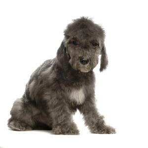 A beautiful, little Bedlington Terrier puppy sitting neatly
