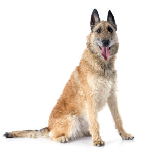 A lovely Belgian Shepherd Dog (Laekenois) sitting down