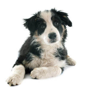 A health maturing Border Collie puppy
